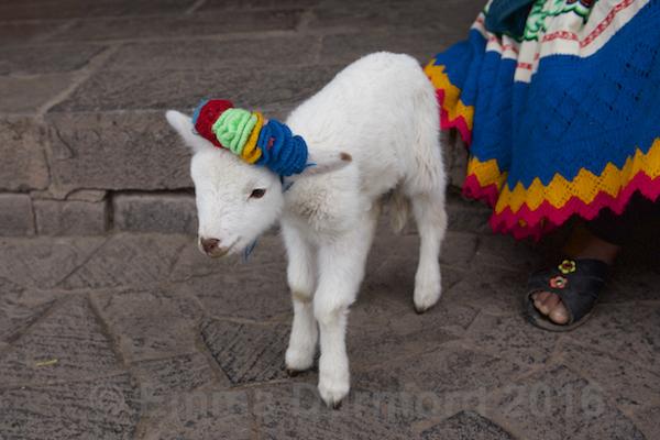 Lamb in bonnet