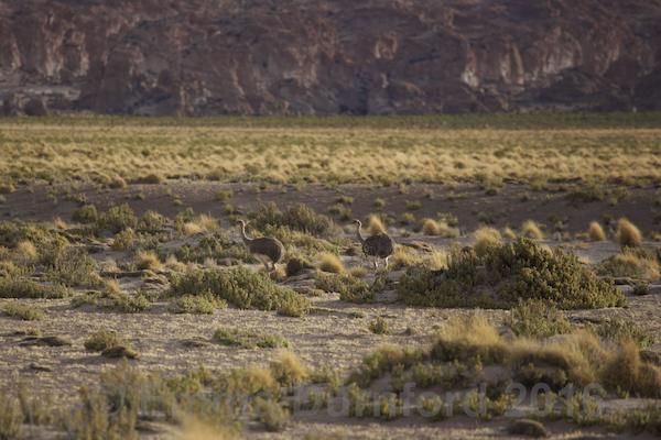 Darwin's Rhea