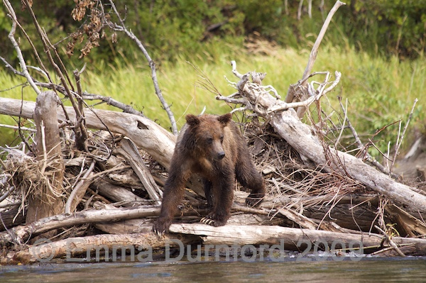 Bear cub fishing