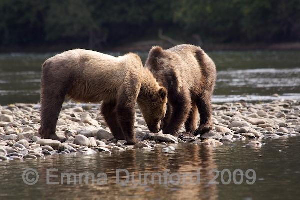 Bear cubs feeding