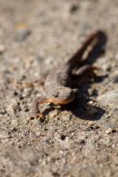 Fire-bellied Newt