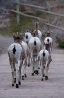 Retreating Big Horn sheep