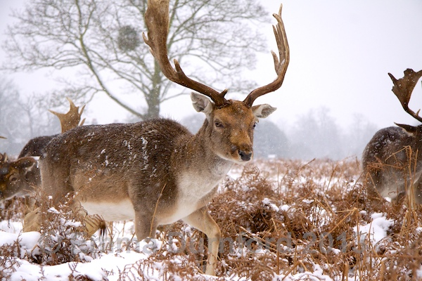 Fallow Buck in a blizzard