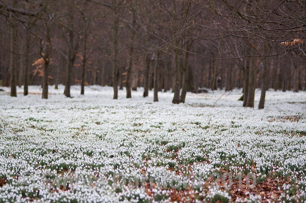 Snowdrops at Welford Park