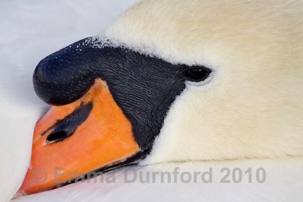Mute swan resting
