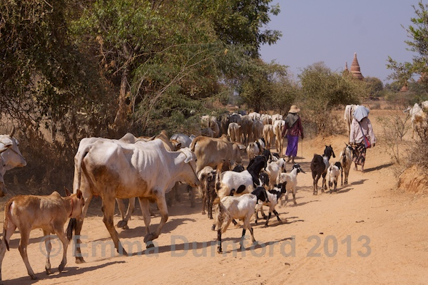 Goat and cattle herding