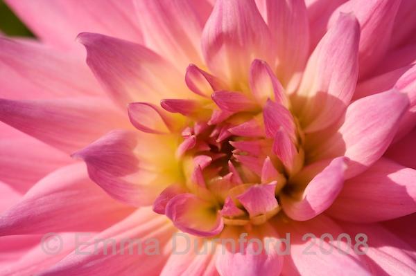 Chrysanthemum detail