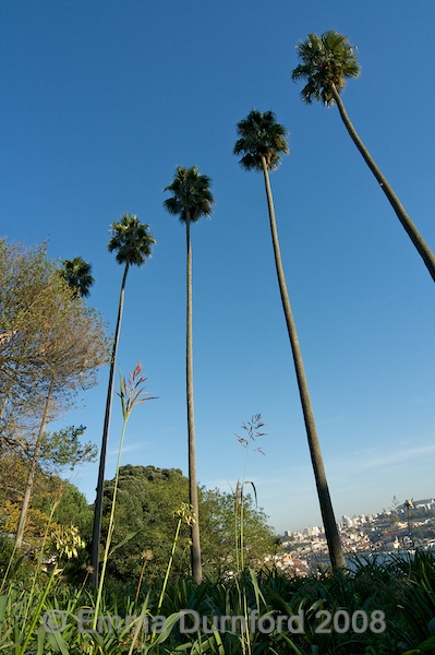 Porto palms