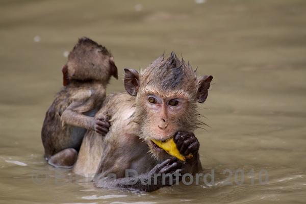 Macaque and baby eating bananas