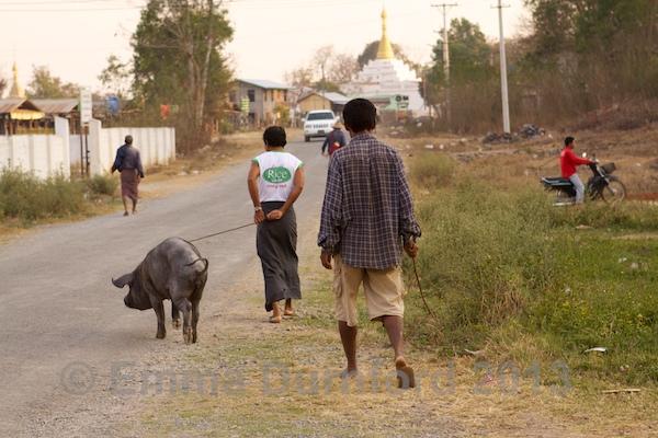 Walking the pig!