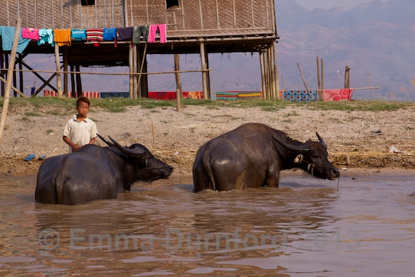 Bathing Water buffalo