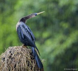 Anhinga in the Rain