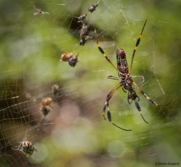 Golden Orb Weaver Spider and its Victims