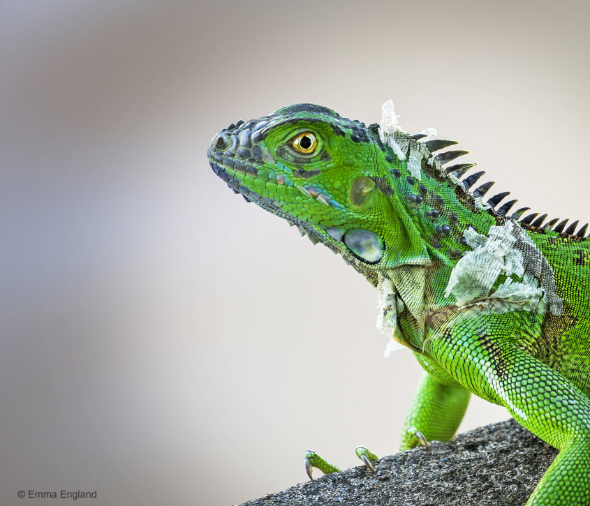 Green Iguana Molting