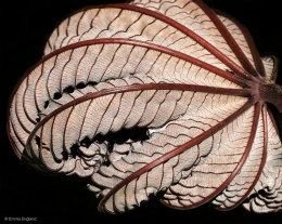 Trumpet Tree Leaf