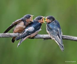 Baby Barn Swallows