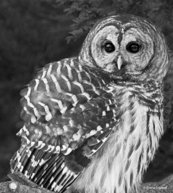 Barred Owl Beauty