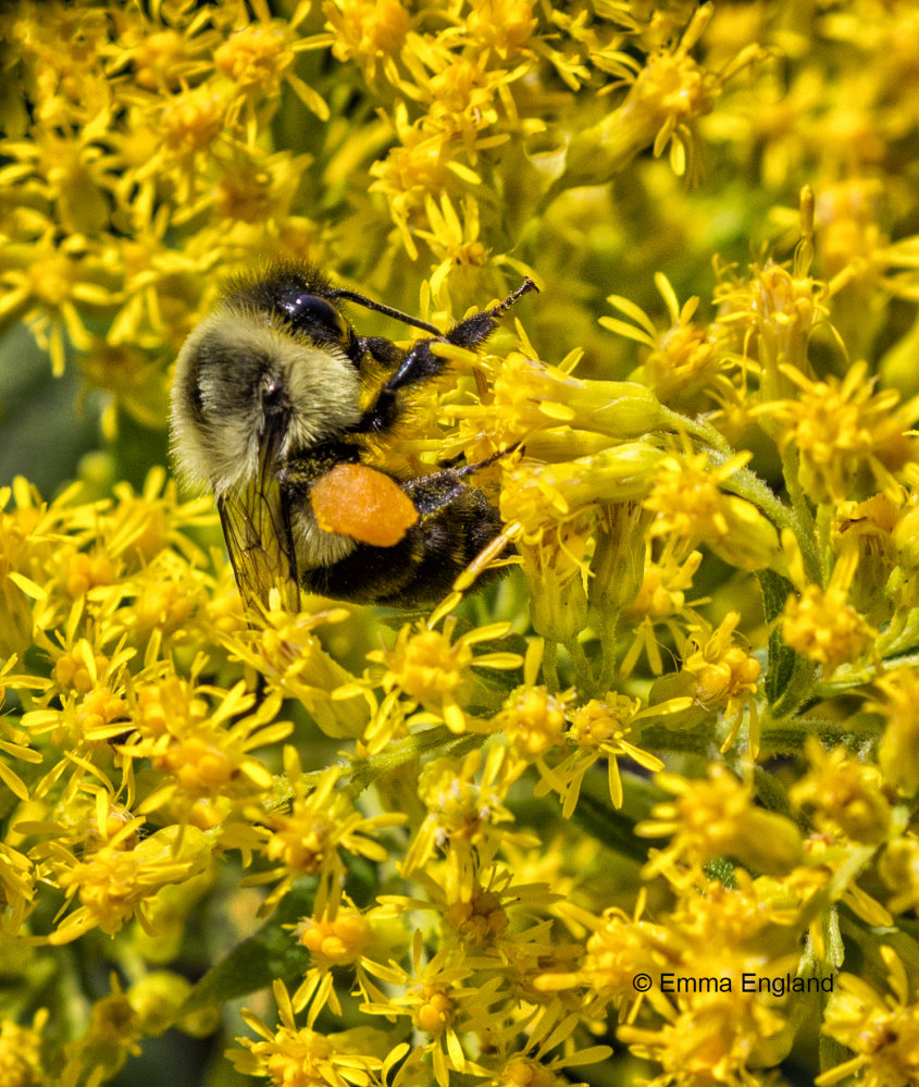 Bee in Goldenrod
