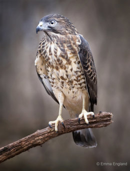 Broad-winged Hawk Portrait