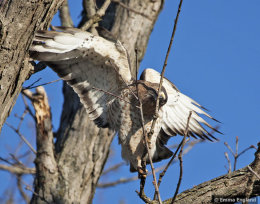 Broad-winged Hawk gathering sticks