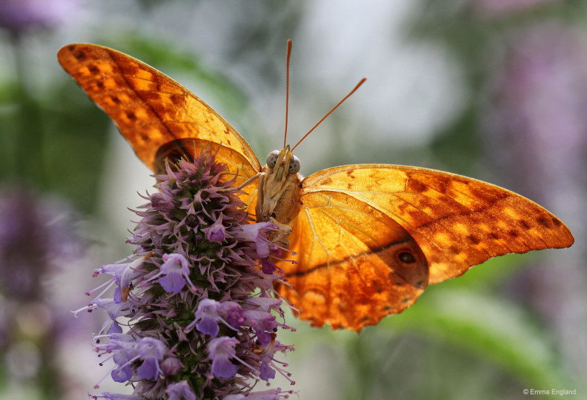 Pearl Charaxes butterfly