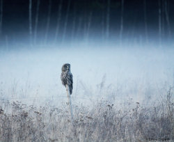 Owl in the mist