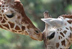 Giraffe kiss