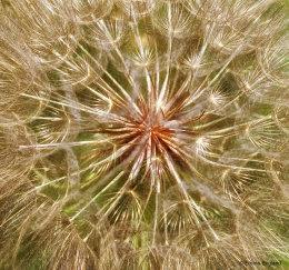 Golden Seed Head