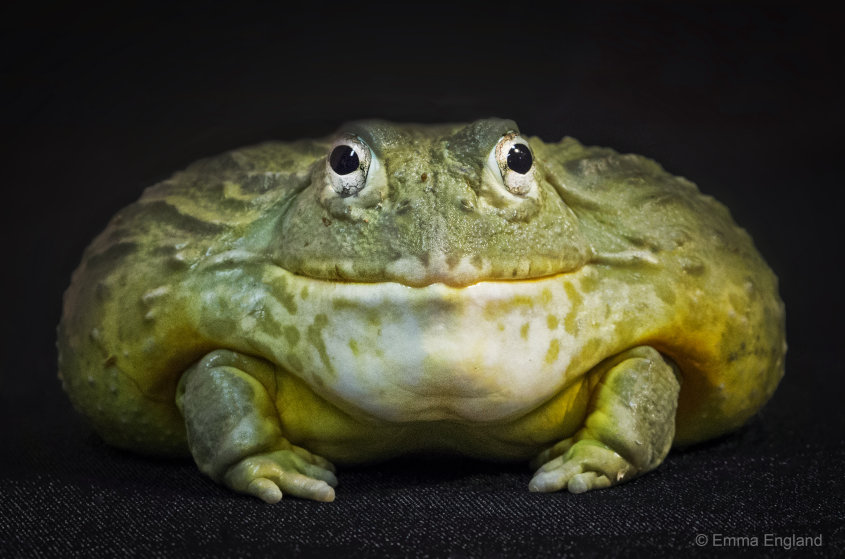 Jabba the Frog