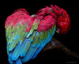 Macaw Heart