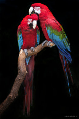 Green-winged Macaw Portrait