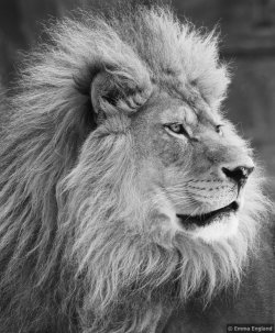 Lion portrait in monochrome