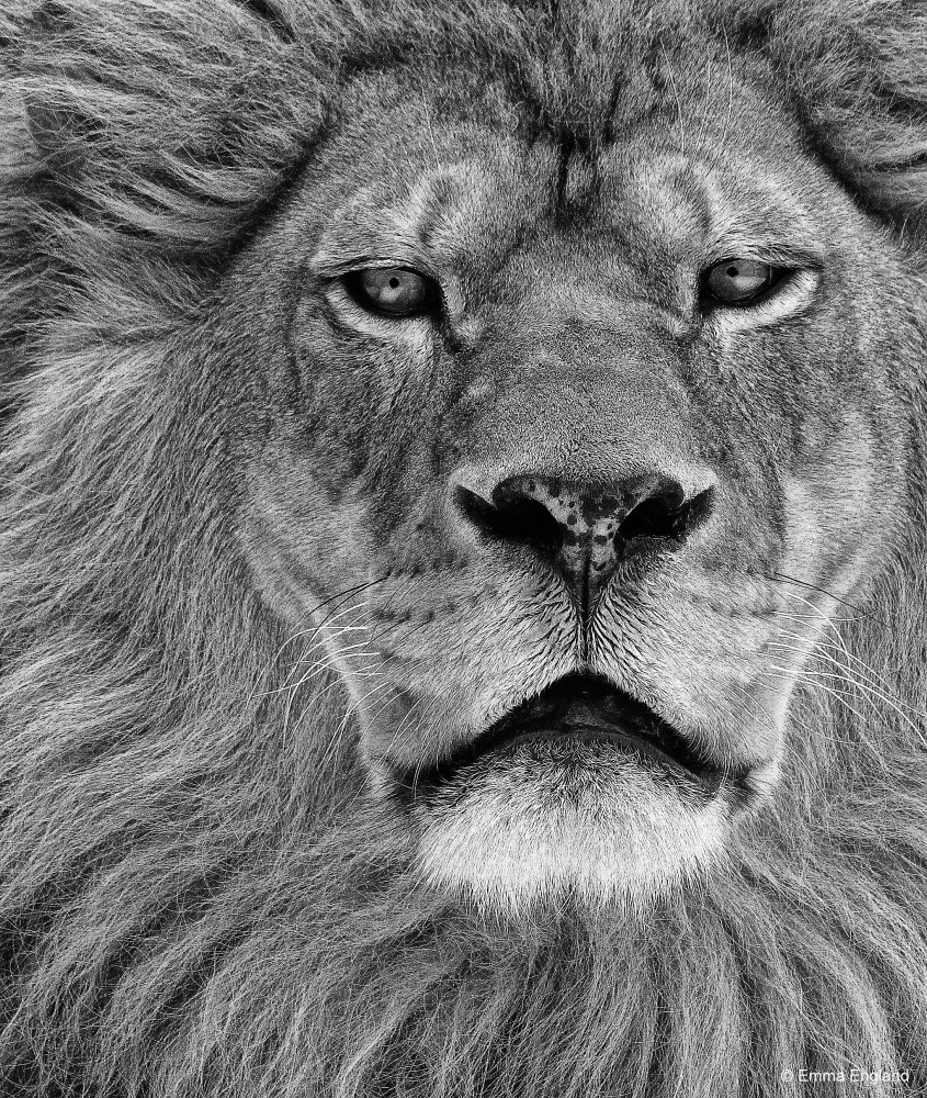 Magnificent Lion in Monochrome