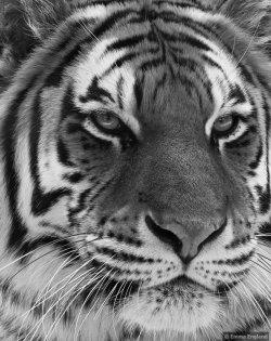 Tiger Portrait in monochrome