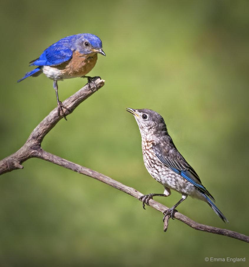 Mr Bluebird and baby