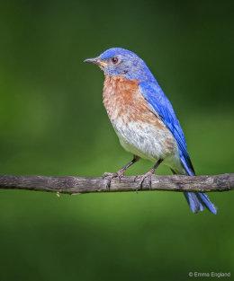 Mr Bluebird Posing