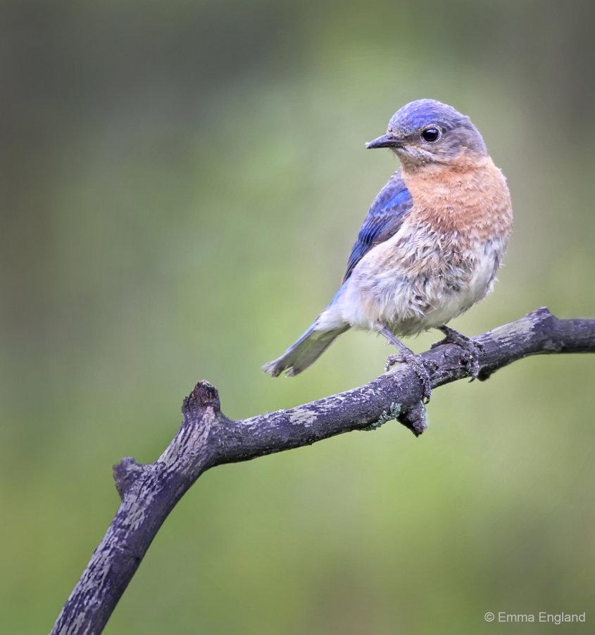 Mrs Bluebird