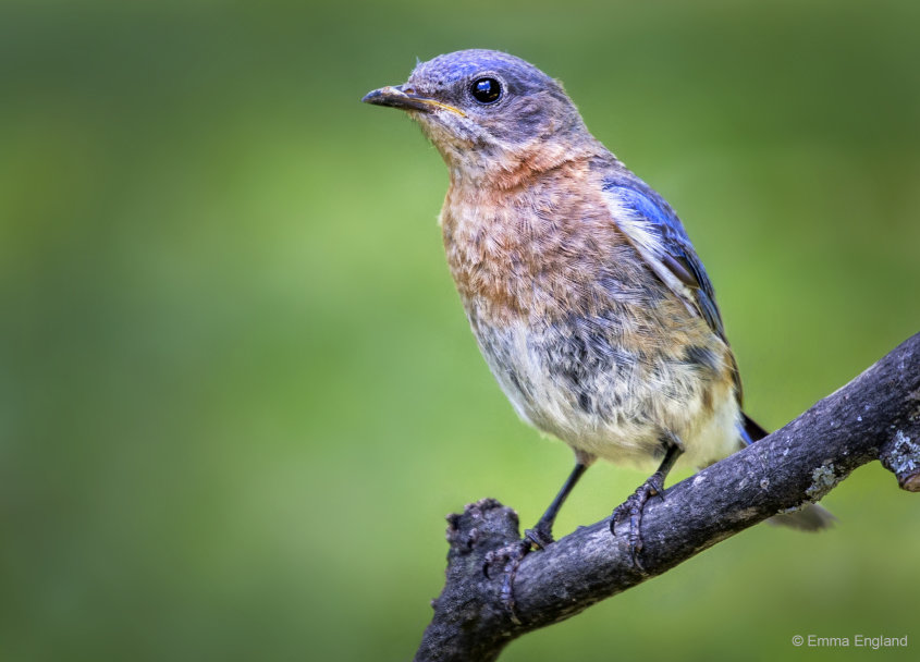 Beautiful Bluebird