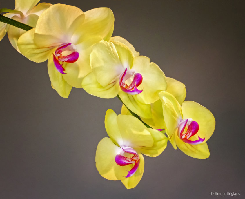 Moth Orchid Cascade