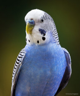 Beautiful Budgie