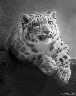 Snow Leopard Cub Portrait