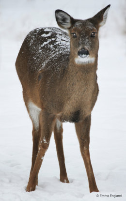Snowy white-tailed deer