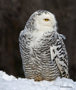 Regal Snowy Owl
