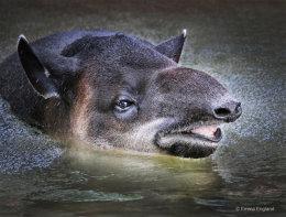 Tapir bath time