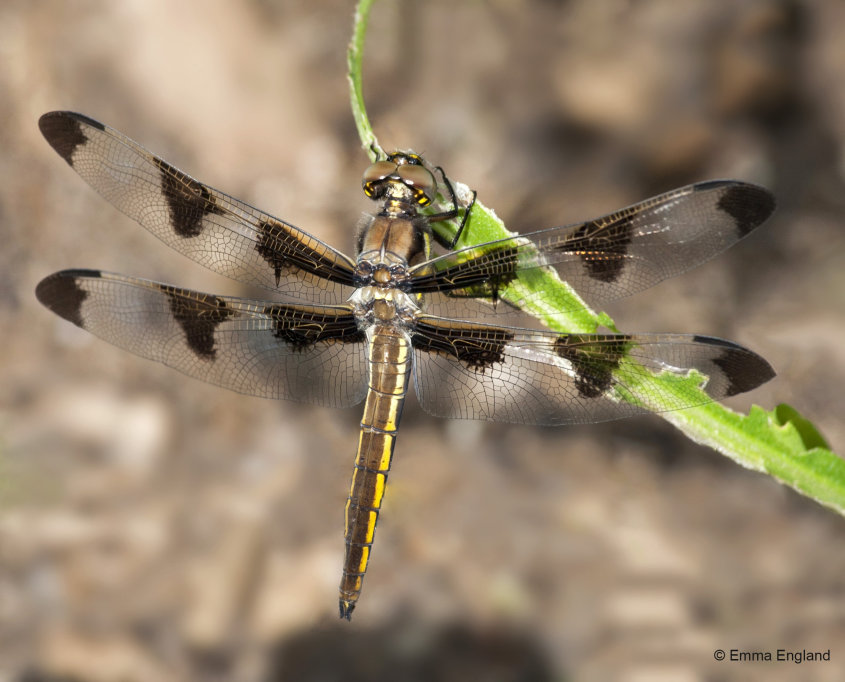 Female Twelve-spotted Skimmer dragonfly
