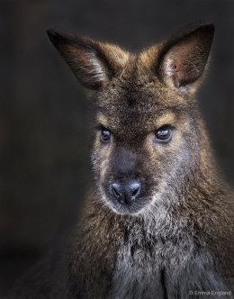 Wallaby Portrait