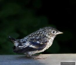 Pied flycatcher fledgling
