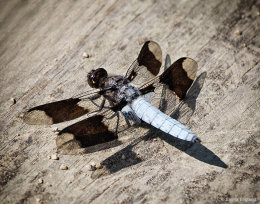 Male Common Whitetail Dragonfly