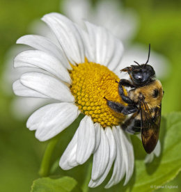 Brown-belted Bumble bee on an Oxeye daisy