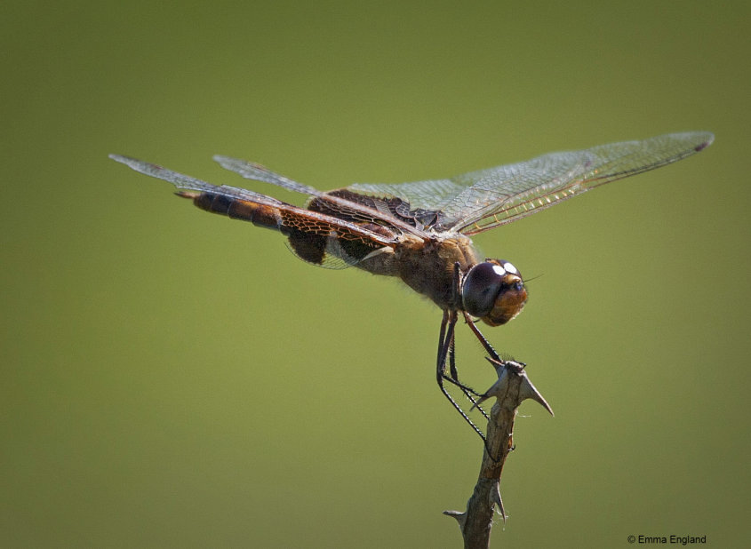 Female Carolina Saddlebags dragonfly